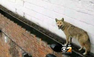 Capture d'écran d'une vidéo montrant un coyote sur le toit d'un bar du Queens, à New York, le 30 mars 2015.