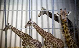 Le 14 mai 2013. Visite du parc zoologique de Paris, appele le zoo de Vincennes, en pleine renovation. Le parc ouvrira ses portes au printemps 2014. Le futur enclos a girafes. Seules les 16 girafes du zoo sont restees sur place pendant les travaux car intransportables.