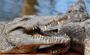 Illustration de crocodiles.