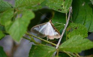 La pyrale du buis ressemble à un vulgaire papillon de nuit mais elle fait des ravages.