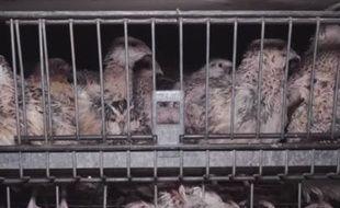 Capture d'écran d'une vidéo de L214 dénonçant le conditions d'élevage des cailles pondeuses dans une entreprise de la Drôme.