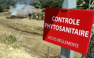 Les zones où se trouvent des plantes infectées par la bactérie Xylella Fastidiosa sont délimitées, le 27 juillet 2015 à Propriano en Corse