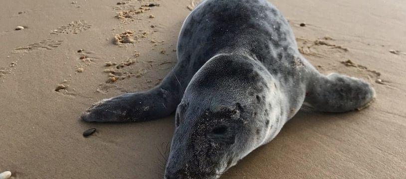 Ce bébé phoque s'est échoué sur la plage de Lacanau