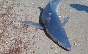Le requin bleu femelle échouée sur la plage du Var. (Usage unique)