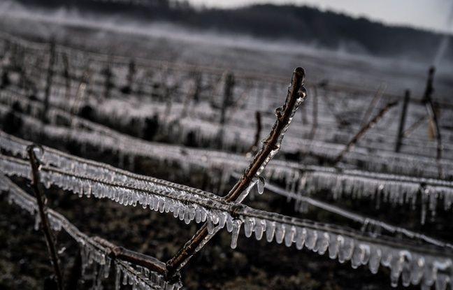 Illustration gel dans les vignes