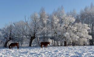 Illustration: Des chevaux marchent dans la première neige à Popielarze, près de Varsovie (Pologne), le 26 décembre 2014.