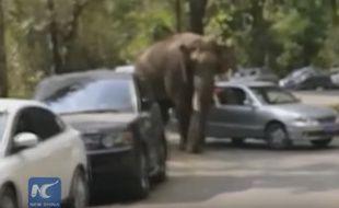 Un éléphant victime d'un chagrin d'amour a détruit 19 voitures en Chine.