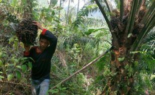 Récolte de fruits des palmiers à huile dans le village de Suka Dame, dans la province de Sumatra du Nord, en Indonésie, le 29 avril 2016