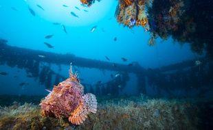 Un poisson dans les récife artificiel.