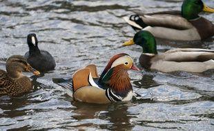 Le canard mandarin  a fait son apparition parmi d'autres canards dans un étang de Central Park à New York.