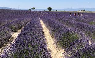 Les champs de lavande sur le plateau de Valensole.