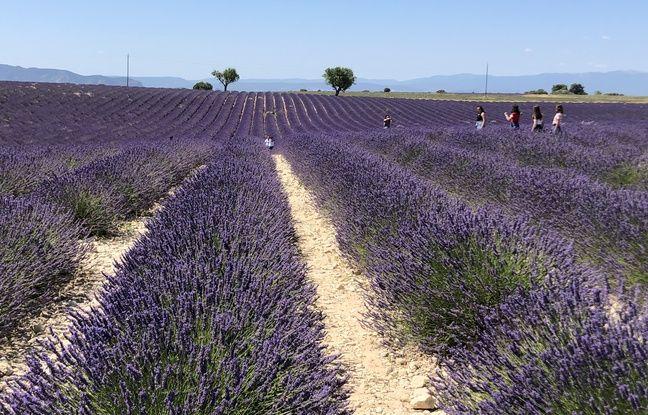 Paca: «On a la chance que les Français jouent le jeu», les touristes étrangers discrets dans les champs de lavande