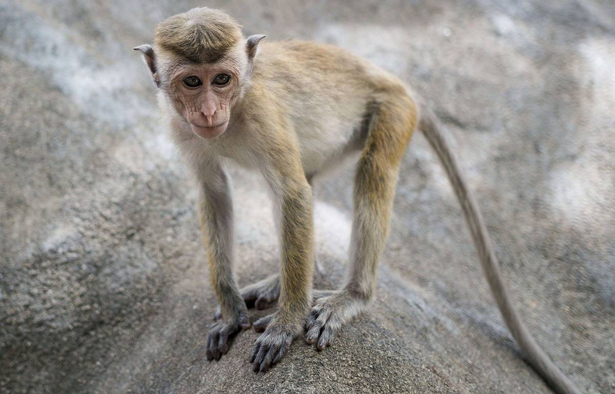 Un singe au Sri Lanka (illustration) – Un singe au Sri Lanka (illustration)
