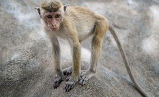 Un singe au Sri Lanka (illustration)