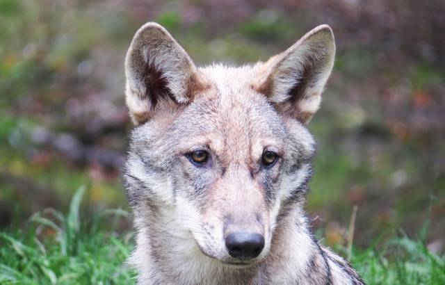 Wolf kills flock of sheep