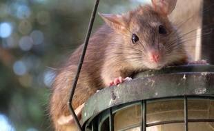 Le rat, un rongeur généralement peu apprécié (illustration).