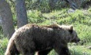 Les ours des Pyrénées sortent progressivement d'hibernation.