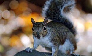 Un écureuil gris dans un parc de Londres.