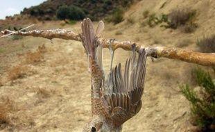 Un rouge-gorges vient d'être capturé sur l'ile de Chypre le 27 septembre 2013