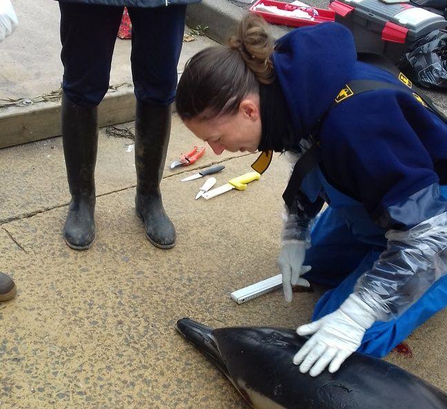 Un dauphin commun a été retrouvé mort le 27 octobre 2019 à Dinard.
