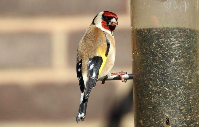 Lyon : Hirondelle, chardonneret, coucou... Faut-il s'inquiéter de la diminution du nombre d'oiseaux communs ?