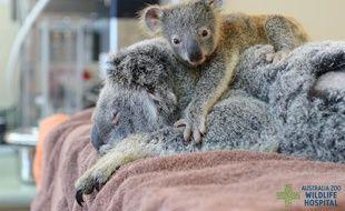 Le bébé koala est resté près de sa mère pendant toute l'opération.