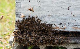 Attaque de frelon asiatique devant une ruche
