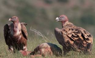 Des vautours dans le parc national des Cévennes (illustration)
