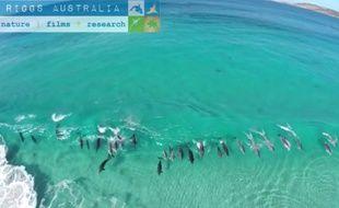 Des dauphins surfent en groupe sur une vague au sud de l'Australie.