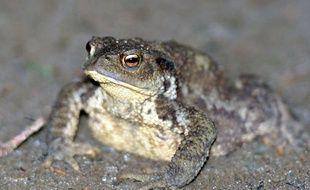 Quatre espèces de grenouilles ont déjà disparues en Australie.
