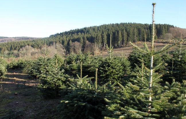 Une plantation de sapins de Noël dans le Morvan, le 1er décembre 2016.