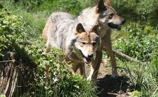 Deux loups semi-sauvages dans le parc des Angles dans le sud de la France, en juin 2015.