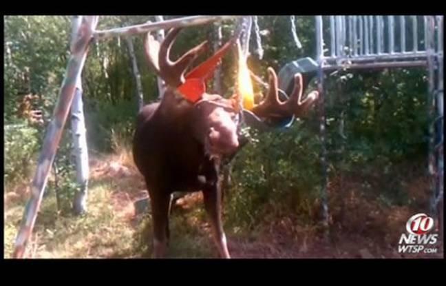 Capture d'écran de la vidéo montrant un élan aux bois coincés dans les chaînes d'une balançoire.
