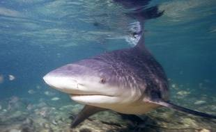 Illustration: un requin bouledogue.