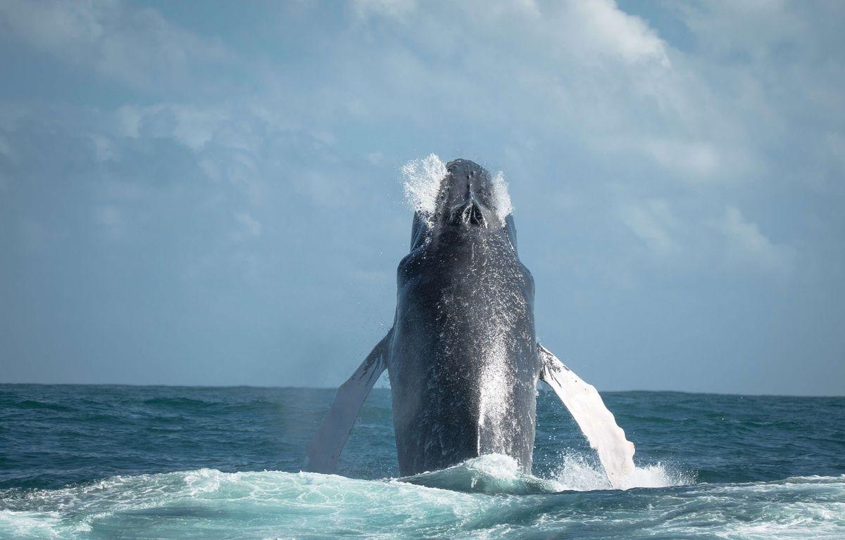 Les scientifiques veulent approfondir leurs connaissances sur le comportement des baleines.  – Dmitry Vilyunov/Solent Ne/SIPA