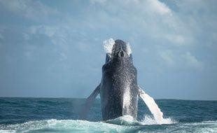 Les scientifiques veulent approfondir leurs connaissances sur le comportement des baleines.