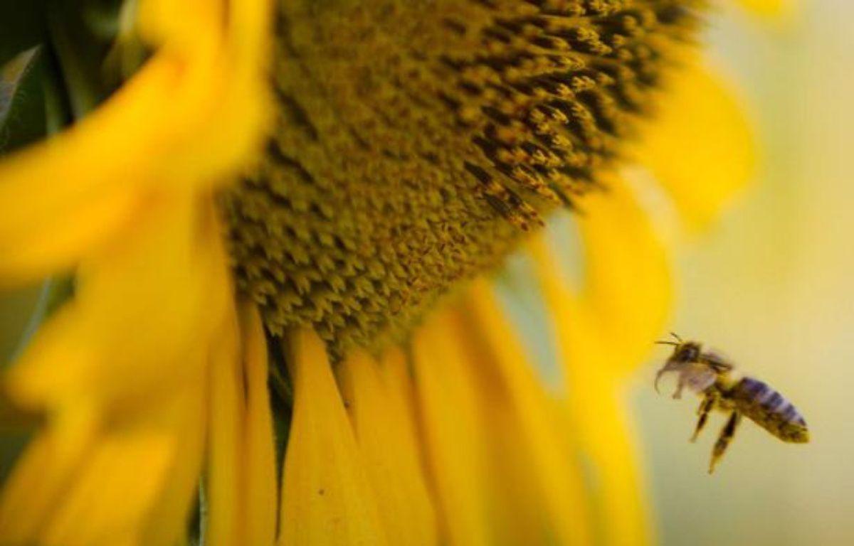 Une abeille butine un tournesol. – Vadim Ghirda/AP/SIPA
