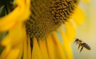 Une abeille butine un tournesol.