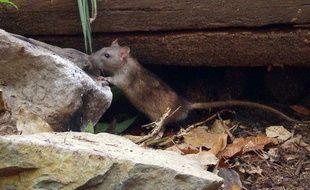 Illustration d'un rat.