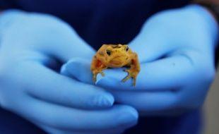 Un spécimen de grenouille dorée, menacé d'extermination.