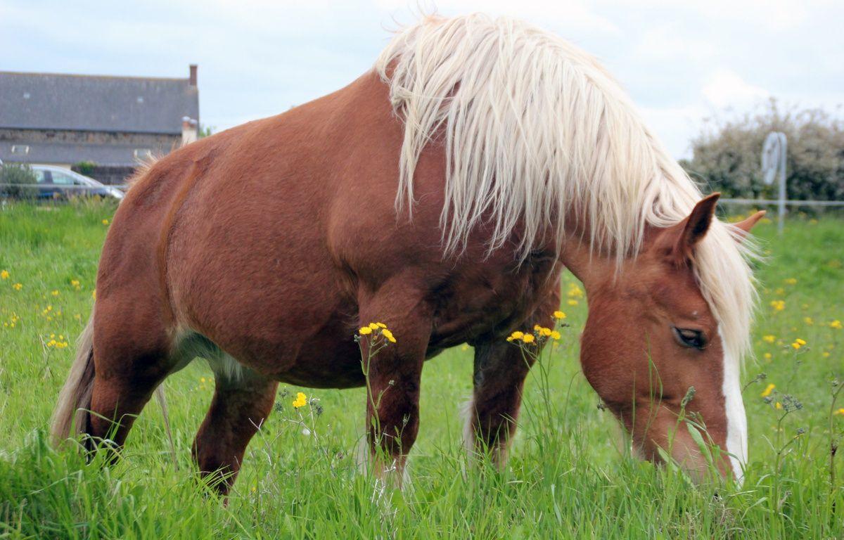 Les chercheurs de Rennes-I ont mis à jour la vie sexuelle des chevaux. – C. Allain / APEI / 20 Minutes