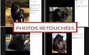 Ces photos ont été retouchées, elles ne montrent pas des lions noirs.