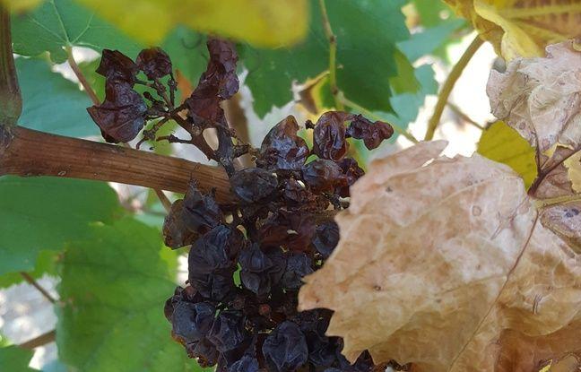 Une vigne touchée par le mildiou