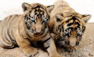 Deux hommes trouvés en possession de cinq bébés tigres et d'autres animaux sauvages à destination de la Chine ou du Vietnam ont été arrêtés en Thaïlande pour trafic d'espèces protégées, a indiqué jeudi un responsable de la police.