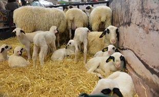 Des agneaux au Salon de l'agriculture de Paris (photo d'illustration).