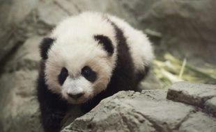 Le panda géant Bei Bei, le 16 décembre 2015 à Washington