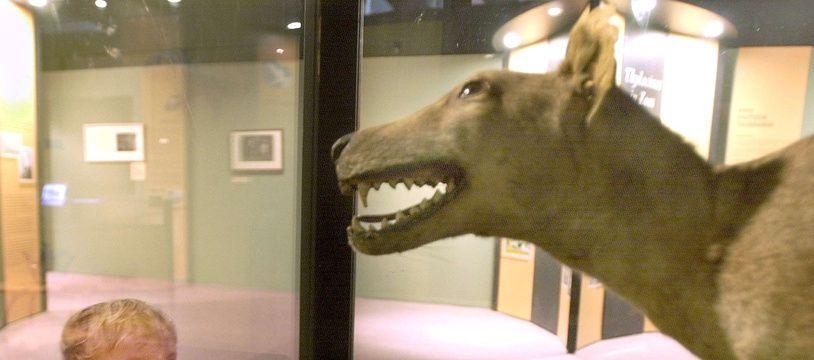 Un tigre de Tasmanie empaillé dans le musée australien de Sydney.