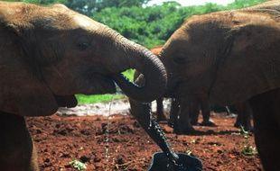 Des éléphanteaux orphelins s'abreuvent dans une réserve à Nairobi, le 22 juin 2015