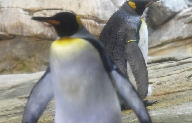 Allemagne: Deux pingouins homos du zoo de Berlin autorisés à couver un Suf