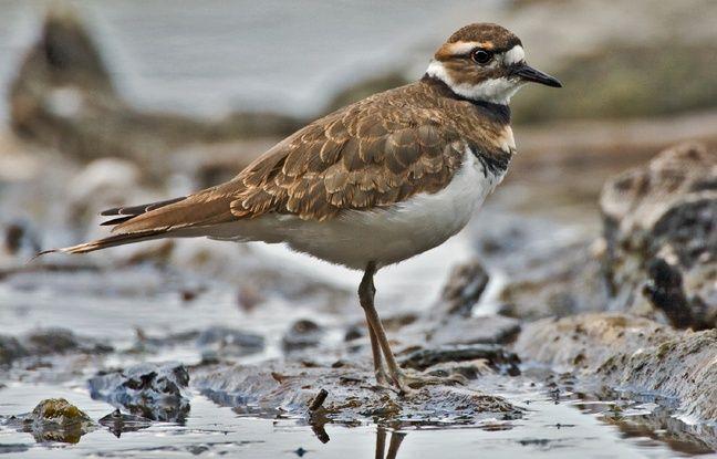 Canada: Le nid d'un oiseau protégé perturbe les préparatifs du festival Bluesfest à Ottawa